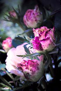 Violet Pink Roses by olgasart