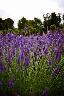 Lavender Fields by Kelsey Horne