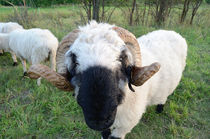 Das gehörnte Schaf von hannes-bielefeldt