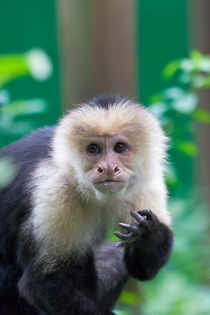 white-faced monkey von Craig Lapsley