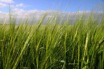 Gerstenfeld - barley by ropo13