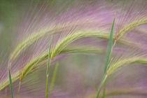 pinks awns II by Priska  Wettstein