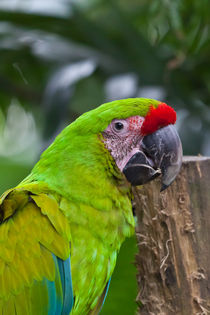 Great Green Macaw by Craig Lapsley