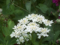 White Flowers by Sue  Midlock