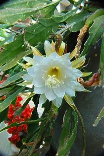 Cactus Blooming by Pravine Chester