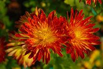 Chrysanthemum von Pravine Chester