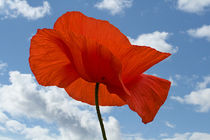 Poppy and Summer Sky by David Pringle