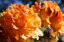 Orangefarbener Rhododendron von alsterimages