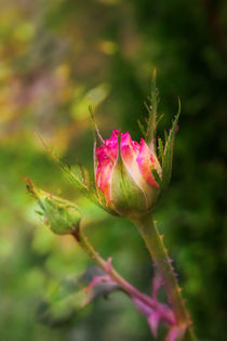 Budding Pink Rose by olgasart