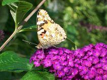 Schmetterling auf dem Flieder von mandy-winter