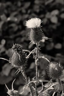 Distel by Nils Volkmer
