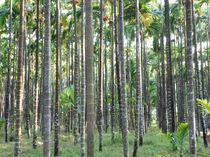 Betel nut farm von Nandan Nagwekar