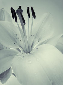Lily by Sarah Couzens