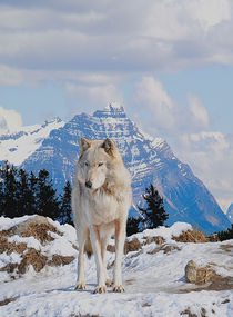 A-wolf-in-winter-art-print