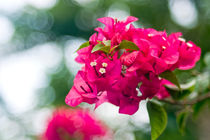 Bougainvillea - Red bunch of flowers by reorom