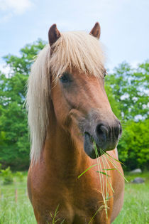 Chestnut Icelandic horse eating grass by kbhsphoto