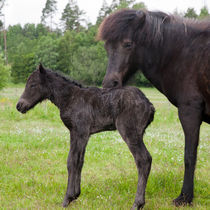 Black Icelandic horse with newborn foal by kbhsphoto