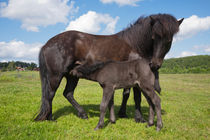 Black Icelandic horse with small foal by kbhsphoto