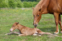 Chestnut Icelandic horse newborn foal with mother von kbhsphoto
