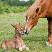 Chestnut Icelandic horse foal with mother by kbhsphoto