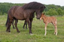 Black Icelandic horse greeting a chestnut newborn foal von kbhsphoto
