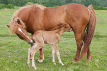 Chestnut Icelandic horse with newborn foal by kbhsphoto