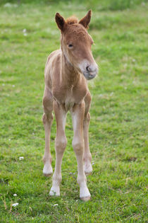 Day-old chestnut Icelandic horse foal von kbhsphoto