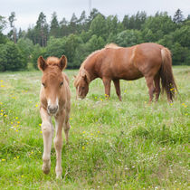 Day-old chestnut Icelandic horse foal by kbhsphoto
