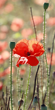 Mohn die Blume Bild von Falko Follert von Falko Follert