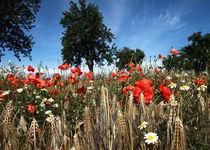 Mohnblumen im Kornfeld Landschaftsbild von Falko Follert von Falko Follert