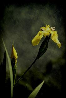 Lilie  by Elke Balzen
