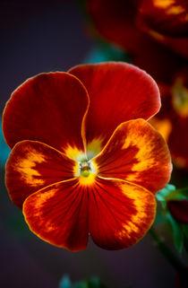 viola (stiefmuetterchen) von helmut krauß