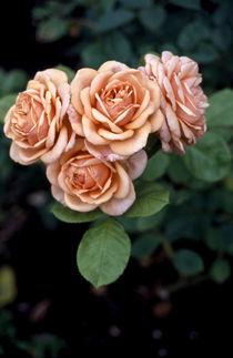 Rosa-v4220