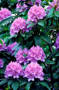 rhododendron (alpenrose) by helmut krauß