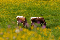 Happy cows von Iryna Mathes