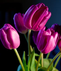 Tulips pink by Lesley Carley