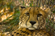 Cheetah No. 567 by Roger Brandt