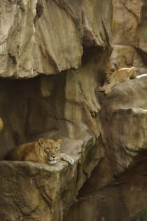Lion No. 291 von Roger Brandt