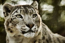 Snow Leopard No. 325 by Roger Brandt