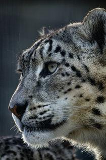 Snow Leopard No. 327 von Roger Brandt