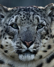 Snow Leopard No. 328 by Roger Brandt