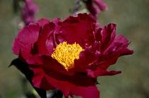 paeonia (pfingstrose) von helmut krauß