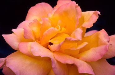 Rosa-h47