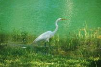 Wading Egret by Kathleen Stephens