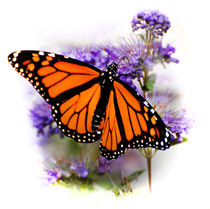 Monarch Butterfly Open-Winged by Kathleen Stephens