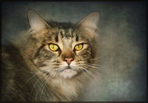 'Portrait of a Maine Coon' by Pauline Fowler