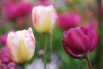 Tulip symphony by Katia Boitsova-Hošek