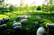 Schafe auf der Wiese von Julia  Berger
