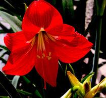 Red Amaryllis von Pravine Chester