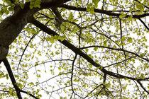 Spring leaves and branches by Alex Voorloop
